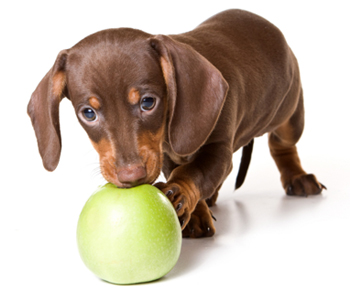 Dachshund with Apple