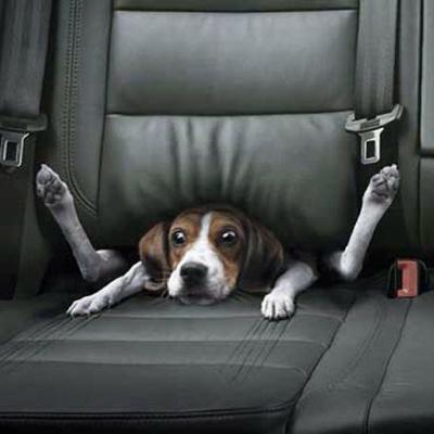 Dog stuck in car seat
