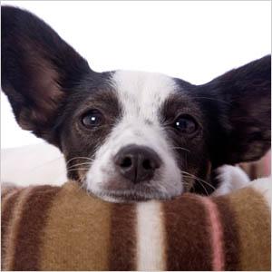Doggie in blanket