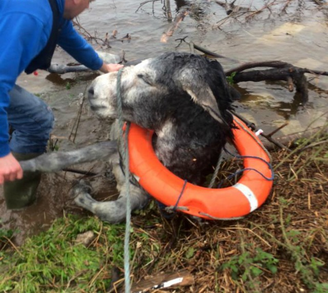 Donkey rescued from floodwaters