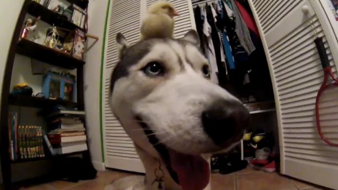 Husky and baby chick are best