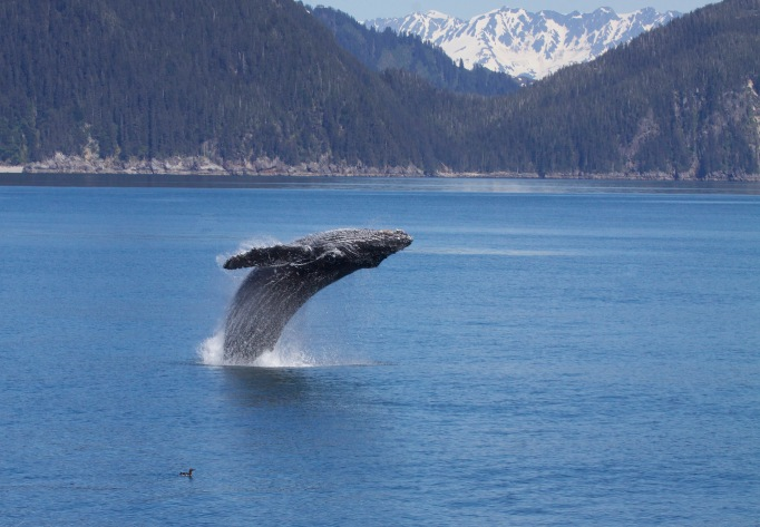 A whale leaping at Kenai Fjord National Park
