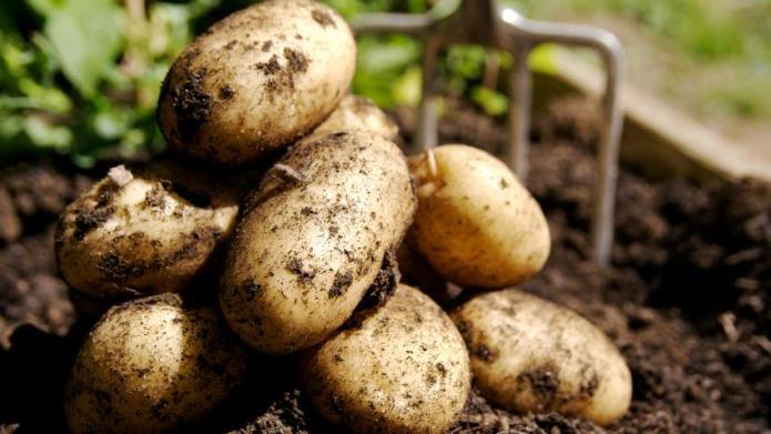 Irish famine potato makes a comeback
