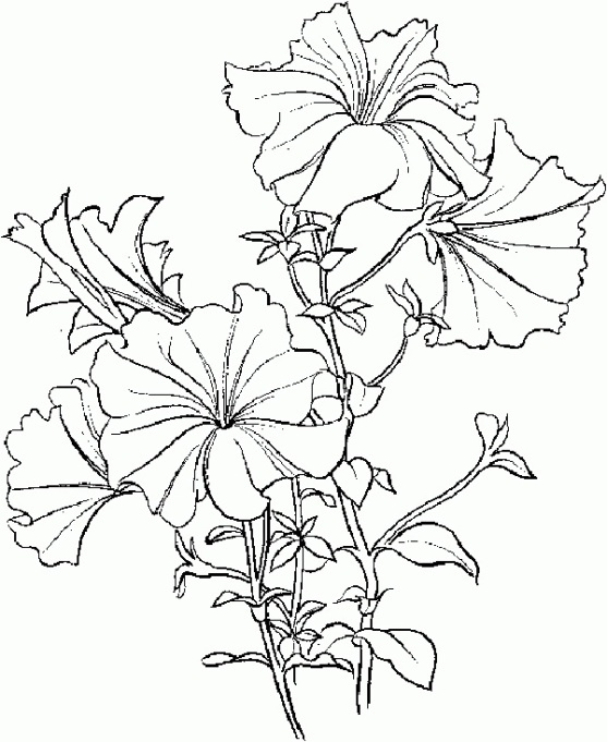 Petunia flowers coloring page