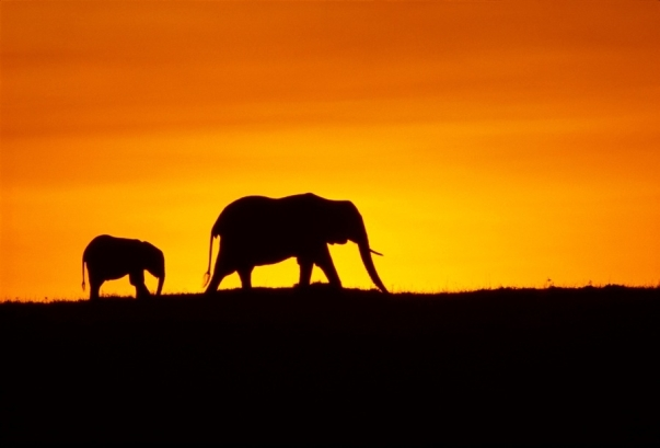 The elephants of Africa