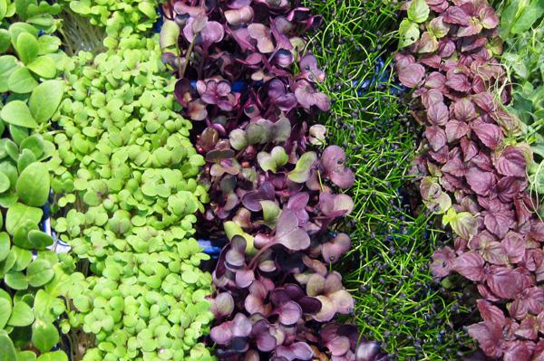 Edible microgreens