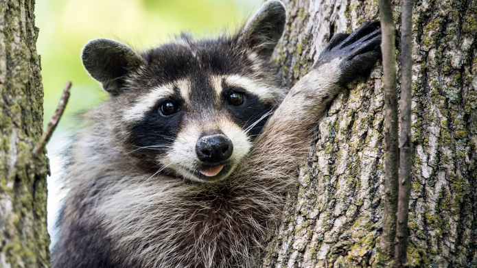10 Raccoons you should be following