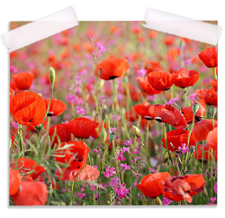 Poppies in Spring