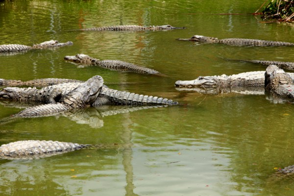 Places in Florida to View Wild Alligators: Everglades National Park