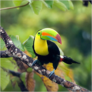 Exotic bird from Panama