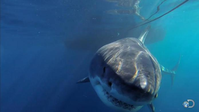 Watch the largest great white shark