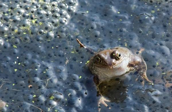 Herpes causing cancer in amphibians