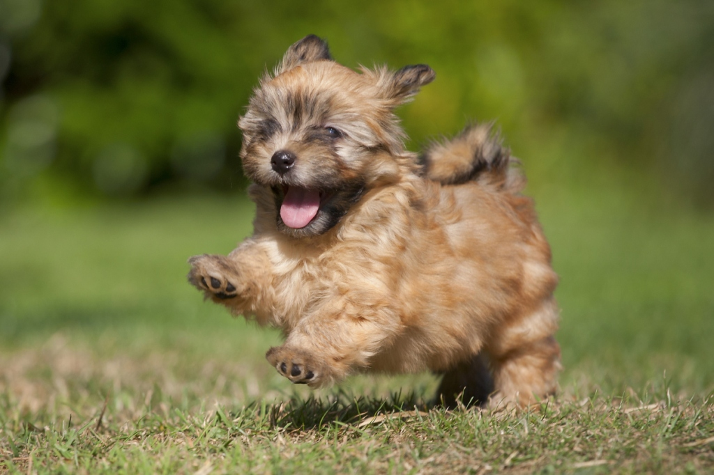 20 Por Cute Small Dog Breeds