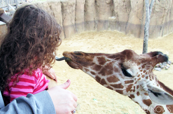 Feeding the giraffe at the Dallas Zoo
