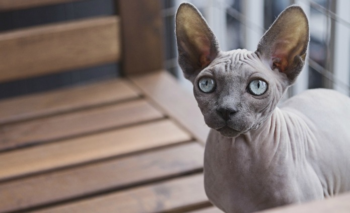 11 Expensive Cat Breeds That Could