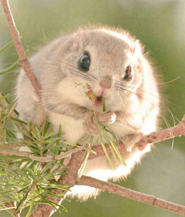 Japanese and Siberian flying squirrels