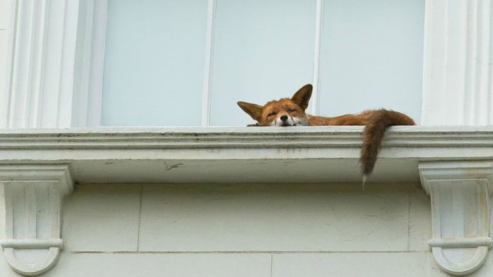Most chilled-out fox ever snapped snoozing