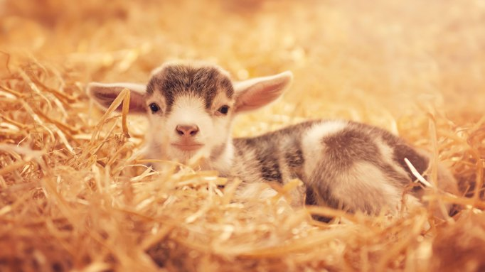 Baby goat in some hay