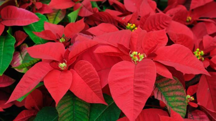 Christmas Plant Significance