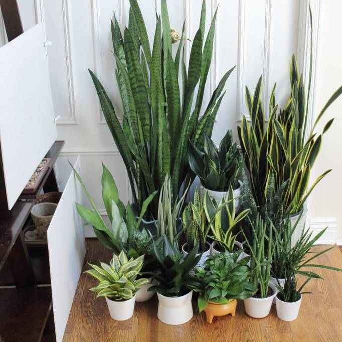 Big, Leafy House Plants: Various sizes of ZZ and Spider Plants