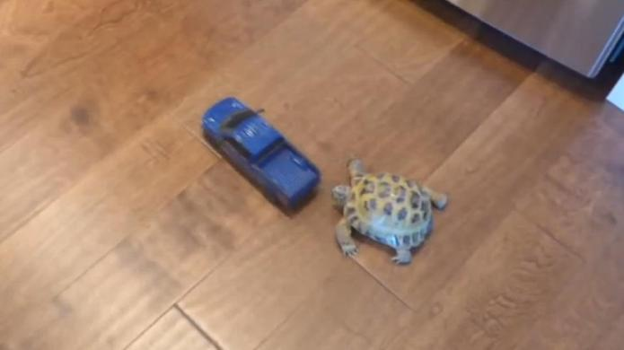 Tortoise gives toy truck a run