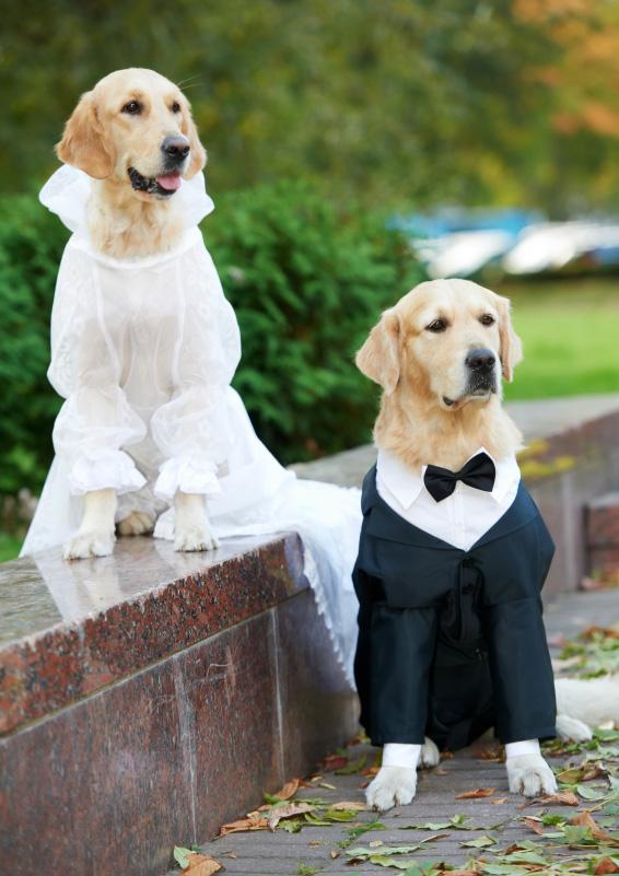 Golden retreiver wedding