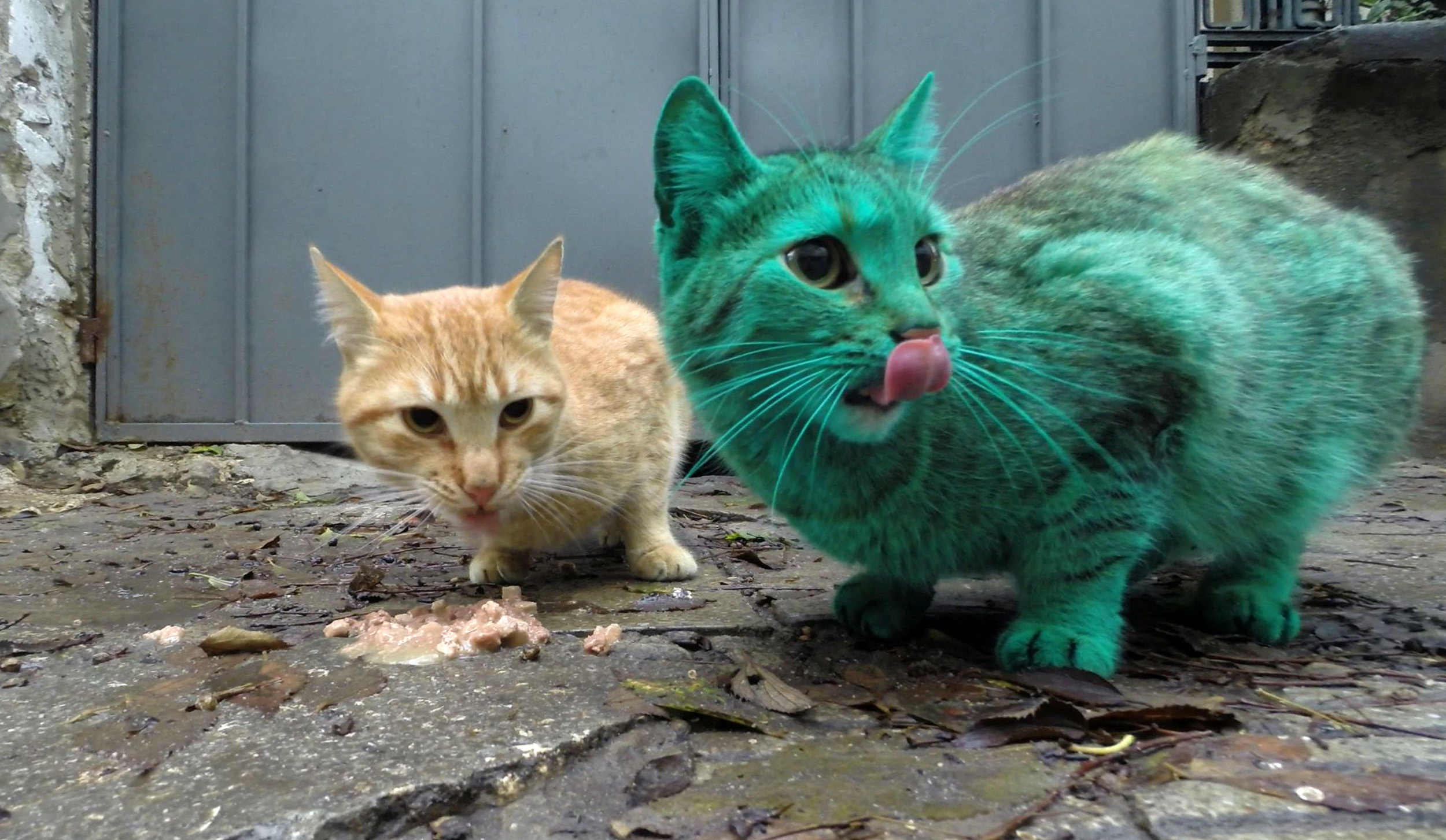 Green cat in bulgaria