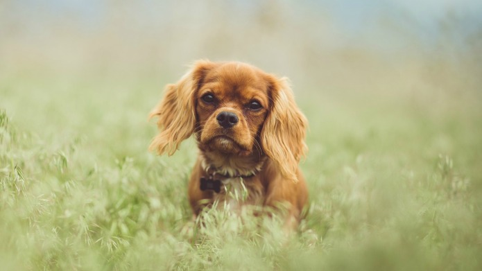 15 Toy Dog Breeds That Will