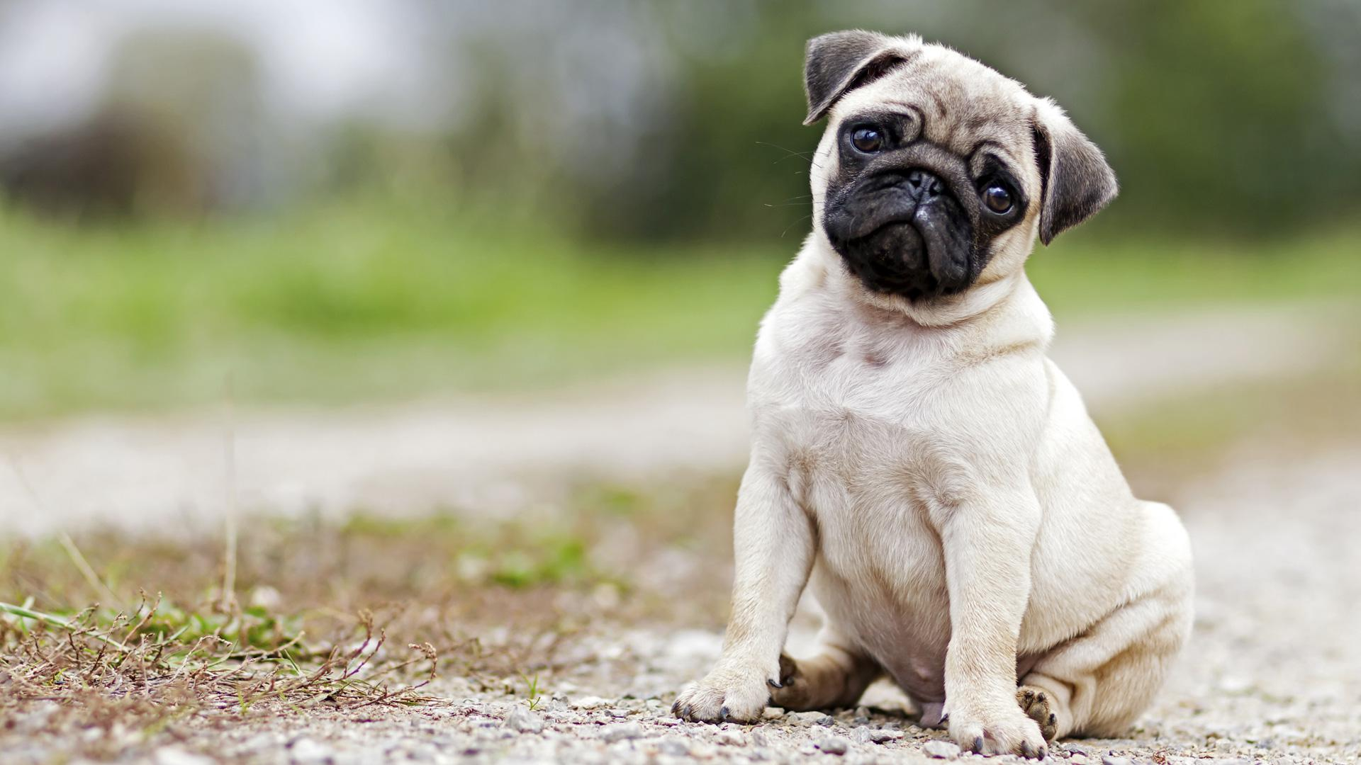 Pug Breeders Puppies for sale near Missouri