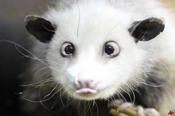 Heidi the Cross-Eyed Opossum