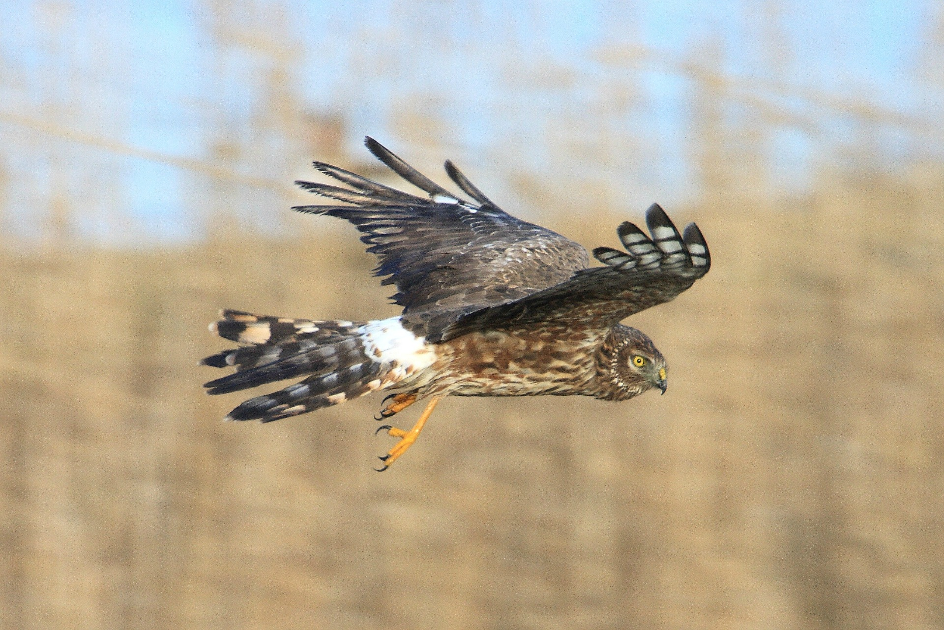 Should the hen harrier be the UK's national bird?