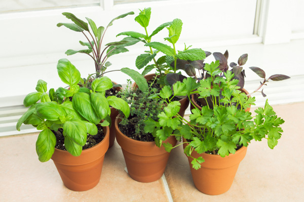 Herbs growing in kitchen