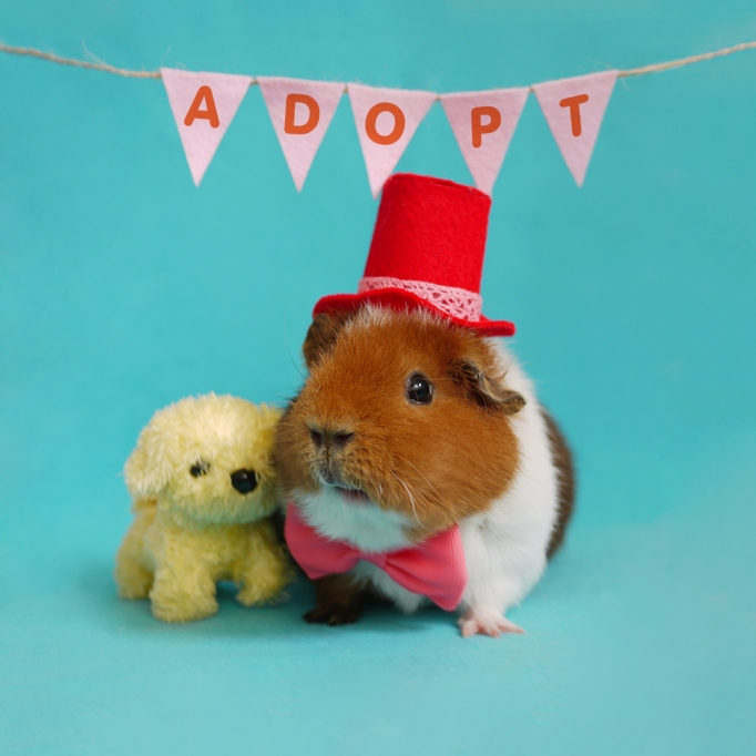 dressed up guinea pigs