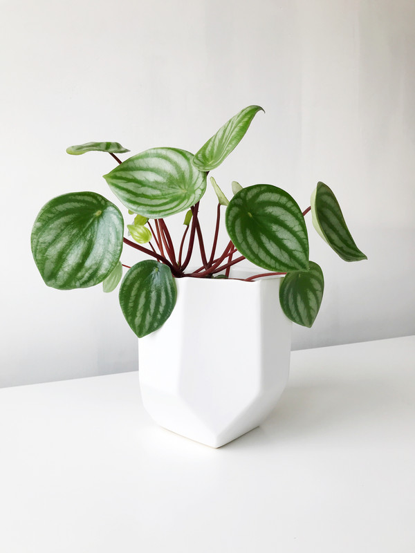 Patterned Plants to Spruce Up Your Winter | Watermelon Peperomia (Peperomia argyreia)