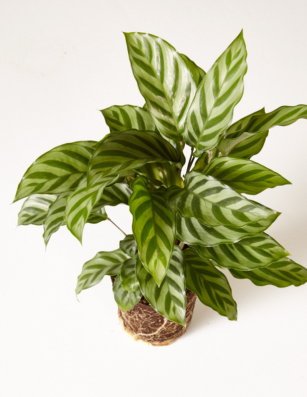 Patterned Plants to Spruce Up Your Winter | 'Freddie' Calathea