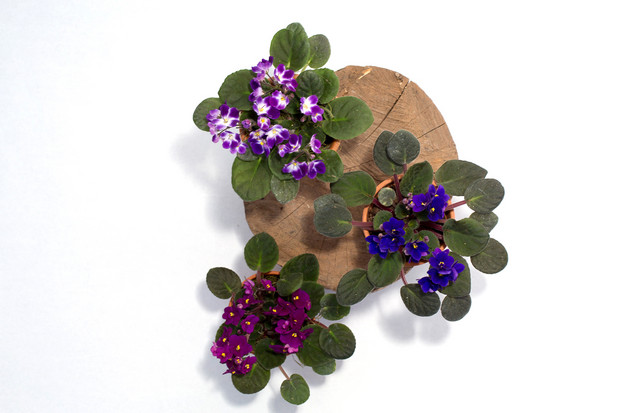 Patterned Plants to Spruce Up Your Winter | African Violet (Saintpaulias)