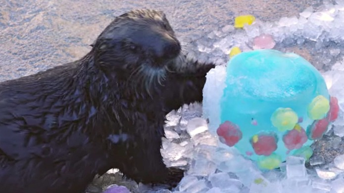 Sea otters play with frozen Easter