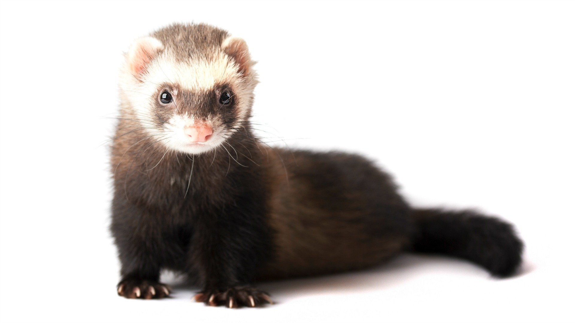 19 Ferret Facts That Will Either Freak You Out Or Make You Want To Get One Sheknows