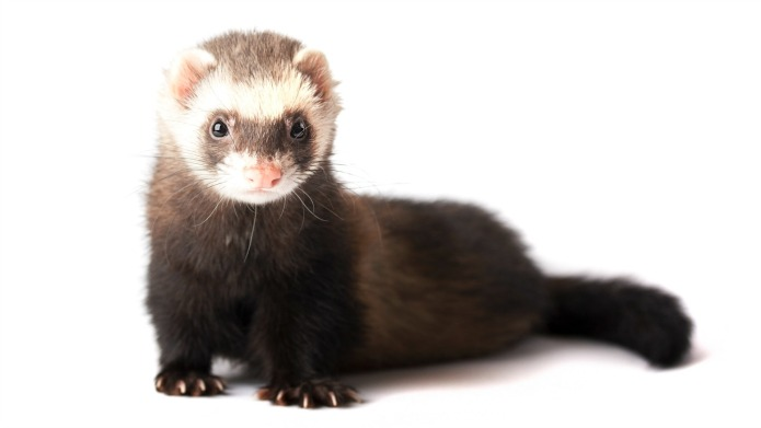 19 Ferret facts that will either
