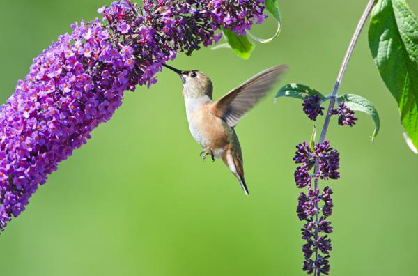 Hummingbird in butterfly bush