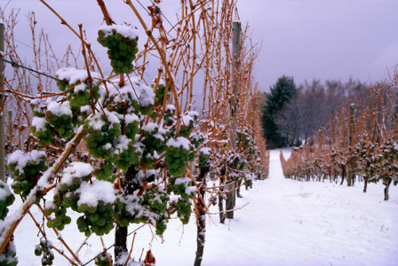 Frozen grapes for icewine