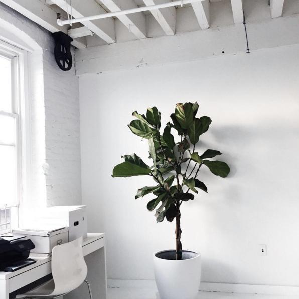 Big, Leafy House Plants: Fiddle Leaf Fig