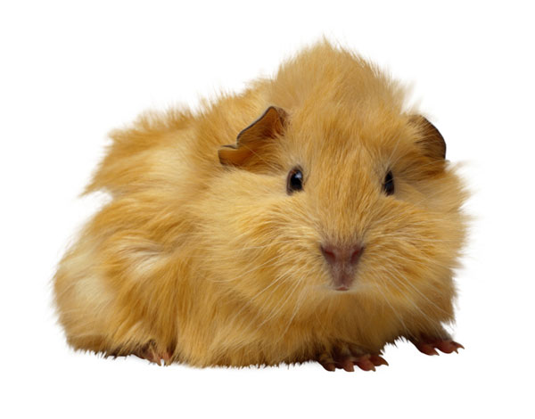 Isolated guinea pig