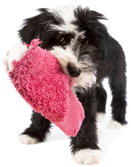 puppy eating slipper