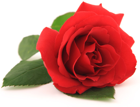 Rose | Sheknows.ca