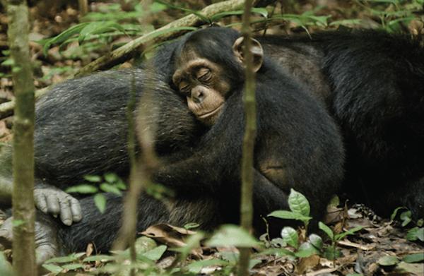 Movie review: Chimpanzee