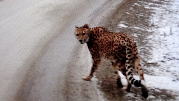 Missing cheetah is just the latest