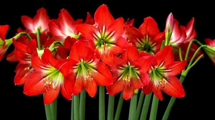 How to care for your amaryllis