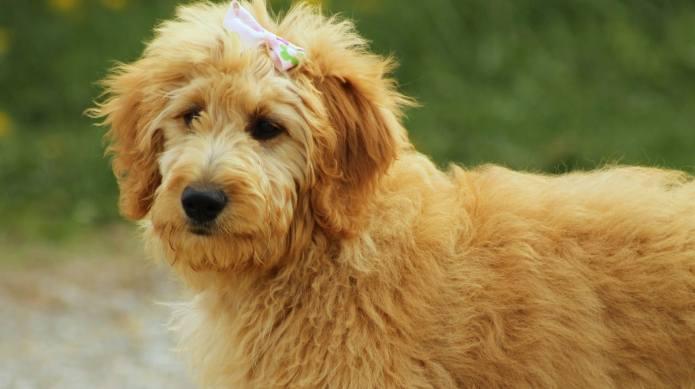 These trendy designer dog breeds will