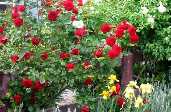 Summer Rose Care